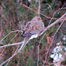 Mourning dove on river birch branch, Cumberland Head. Photo: Alice Connors