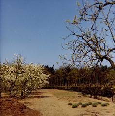 Sterksel NBr boomgaard (Arthur-A) Tags: netherlands nederland orchard lente boomgaard brabant springtime noordbrabant providentia sterksel