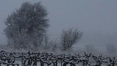 L'hiver en Languedoc (Michel Seguret Thanks all for 9.600 000 views) Tags: schnee winter snow france season vineyard vines nikon hiver nieve pro invierno neige d200 inverno vigne languedoc weinberg smörgåsbord saison hérault dragongoldaward michelseguret