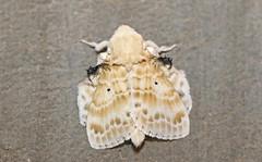 Eucraera magna, Sakania, DRC (Terathopius) Tags: moth lasiocampidae lasiocampinae congo drc drcongo canonef100mmf28 canoneos5dmkii sakania eucraeramagna