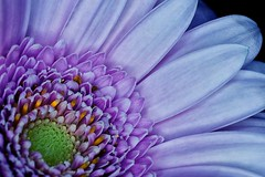 01-21-purple-gerbera (Paul Sibley) Tags: flower photoaday nikond60 2013inphotos