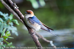 "Lesser Striped Swallow • <a style=""font-size:0.8em;"" href=""http://www.flickr.com/photos/56545707@N05/8431486575/"" target=""_blank"">View on Flickr</a>"
