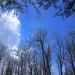 Maple tree | Arce (Acer sp.)
