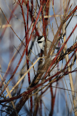 Chickadee on Dogwood_40387.jpg (Mully410 * Images) Tags: winter snow cold bird birds birding chickadee dogwood birdwatching blackcappedchickadee birder tcaap ahats burdr ardenhillsarmytrainingsite