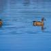 Blue-Winged Teals on Creekfield Lake