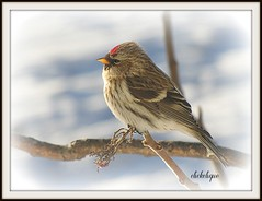 Enjoying the morning sun~Explore #186 (clickclique) Tags: morning snow bird sunrise branch explore commonredpoll colorphotoaward citritbestofyours