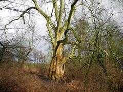 Wintersun (~~Nelly~~) Tags: winter sun tree soleil belgium belgique hiver belgi boom arbre zon winterlicht mygearandme mygearandmepremium mygearandmebronze