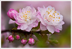 DSC01166-Sapa 0212 (HoangtheNhiem) Tags: flower spring cherryblossoms tet wildflower sapa