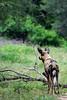 Wild dog (Arno Meintjes Wildlife) Tags: africa park camp wallpaper holiday color art nature animal animals closeup southafrica bush wildlife safari explore endangered predator animalplanet mammalia rsa krugernationalpark mpumalanga krugerpark carnivore africanwilddog birdwatcher excellence big5 wilddog naturelovers knp lycaonpictus sanparks naturesfinest africanhuntingdog painteddog capehuntingdog naturescall spotteddog flickrsbest paintedhuntingdog meintjes paintedwolf wildehond colorphotoaward arnomeintjes naturewatcher internationalgeographic naturesgreenpeace ornatewolf