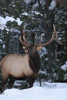 Quebec Elk & Red Stag Hunt 71