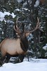 Quebec Elk & Red Stag Hunt 71