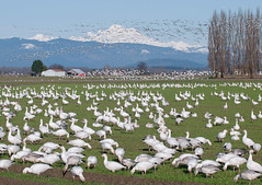 Prelude to a [Snow Goose] Flush (ingridtaylar) Tags: winter field flying flock olympus farms e3 flush february 50200mm zuiko mountvernon mountbaker chen snowgeese skagitcounty snowgoose caerulescens firisland 2013