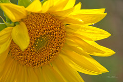 Let the Sunshine in (explore) (loobyloo55) Tags: flowers sun flower yellow canon flora explore sunflowers sunflower explored explore20130218