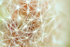 Vintage Dandelion (stillydgn) Tags: winter light blur macro green nature beautiful yellow closeup vintage macintosh lights daylight spring mac weeds weed whimsy nikon focus pretty day close edited wildlife dandelion adobe daytime magical edit whimsical lightroom macrolens adobelightroom macbook d3100 nikond3100