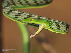 Green vine snake (Ahaetulla nasuta) @ Bhubaneswar 24 | 12 | 2012 (Ar.Shakti Nanda) Tags: india macro nature photography photographer close snake wildlife indian vine olympus sharp architect nanda orissa e30 shakti bhubaneswar odisha shaktinanda