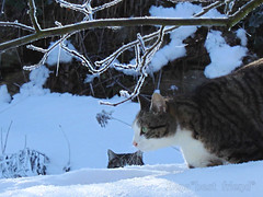 Inside the Snow      (Xena*best friend*) Tags: wood winter wild italy pet cats pets snow cold cute animals fur photography frozen chats furry woods feline flickr shots tiger freezing kitty ab kittens whiskers piemonte gato neve calico purr meow neige paws miao antoniobanderas gatto georgeclooney katzen pussycat markings miau feral wildanimals supershot allrightsreserved alleycatallies piedmontitaly canonef70300mm softrime catsinthesnow canoneos500d eosrebelt1i catsplayinginthesnow insidethesnow