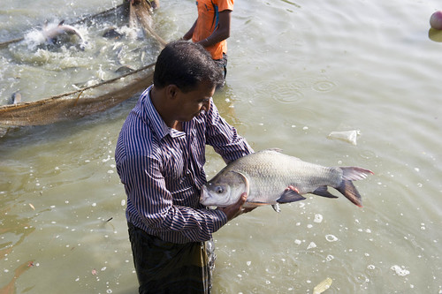 A farmer holding a fish at a hatchery in Hazipur, Bangladesh. Photo by Finn Thilsted, 2012.