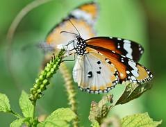 同类 (Kindred Spirits) (Anna Kwa) Tags: macro art nature butterfly insect singapore kindredspirits plaintiger danauschrysippus hortpark