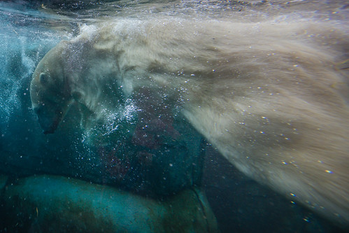 Polar Bear swimming by