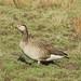 Grågås X Kanadagås / Greylag Goose X Canada Goose