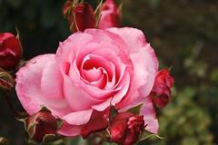 Florecer (Daniela Alejandra G) Tags: naturaleza flower rose canon eos flora colombia bogotá flor rosa jardínbotánicojosécelestinomutis eos400d canoneos400d