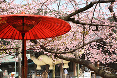 NODATE tea ceremony (tomosang R32m) Tags: japan umbrella shrine tea ceremony  cherryblossom sakura fukuoka  nodate    fukuma  miyaji    tsuyazaki miyajidake bangasa fukutsu     cerasuscerasoides