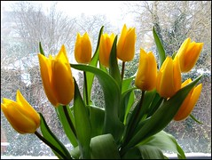 Mothers Day Tulips ... (* Janets Photos *) Tags: uk flowers yellow flora tulips mothersday artisticflowers takenwithlove mindigtopponalwaysontop lovelyflickr thegoldenachievement goldenachievement