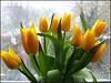 Mothers Day Tulips ... (** Janets Photos **) Tags: uk flowers yellow flora tulips mothersday artisticflowers takenwithlove mindigtopponalwaysontop lovelyflickr thegoldenachievement goldenachievement