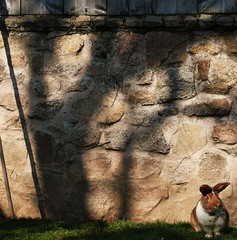 1185 Waiting for Alyssa (Nebojsa Mladjenovic) Tags: light shadow pet sunlight france rabbit art nature animal wall fauna digital french outdoors lumix frankreich shadows stones burgundy panasonic frankrijk animaux bourgogne francia priroda morvan francais fz50 yonne svetlost animauxdecompagnie stoneswall mladjenovic photographyforrecreation
