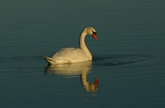 The Swan (stuartcroy) Tags: blue winter light sea white lake colour reflection bird water beautiful weather landscape still swan orkney stenness scenery frost waves tranquility panasonic ripples loch dmcfz10 flickrstruereflection1 flickrstruereflection2 rememberthatmomentlevel4 rememberthatmomentlevel1 rememberthatmomentlevel2 rememberthatmomentlevel3 rememberthatmomentlevel5