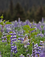 Alaska Bird in Lupin Field (ETaddei) Tags: flowers bird alaska purple lupins