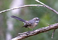 Active (mgjefferies) Tags: bird australia aves queensland greyfantail granitebelt mgjefferies geo:country=australia broadwatersf