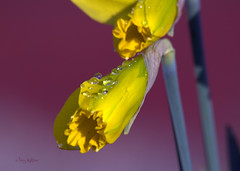 Daffodil Droplets [Explored!] (Terry Aldhizer) Tags: flower water floral droplets drops drop terry daffodil droplet daffodils explored aldhizer terryaldhizercom