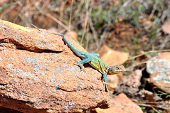 Eastern Collared Lizard (tyler.linquata) Tags: summer mountains hot oklahoma beautiful beauty photography spring cool nikon pretty wildlife awesome lizard wichita refuge collared lawton d90
