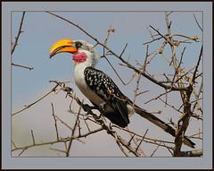 A banana with wings! (Rainbirder) Tags: kenya tsavoeast yellowbilledhornbill easternyellowbilledhornbill tockusflavirostris rainbirder