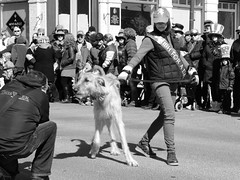 "Dogs don't understand ""parades"" (andyscamera) Tags: people woman dog ontario canada photographer parade peterborough stpatricksday wolfhound georgest peterboroughcounty andyscamera peterboroughhumanesociety"