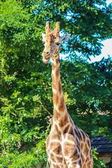 ZooParc de Beauval (moutoons) Tags: animal zoo panda lion koala crocodile asie serpent animaux parc tigre tortue ours girafe iguane afrique singe manchot pingouin sauvage faune gorille panthre lphant chimpanz rhinocros tigreblanc panthrenoire zooparcdebeauval ourangoutan