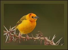 Taveta Golden Weaver (Rainbirder) Tags: kenya lakejipe tavetagoldenweaver ploceuscastaneiceps avianexcellence rainbirder