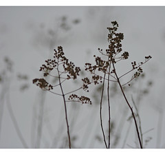 winter's  flower (mike greenwood 13) Tags: winter flower vermont yarrow vt riptonvt addisoncounty spiritinnature