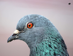 Galamb - Pigeon (The Crow2) Tags: uk england london canon eos pigeon stunning anglia 600d galamb thecrow2