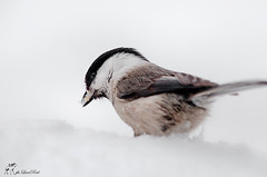 Cincia bigia - Marsh tit (lucarial) Tags: winter snow bird birds tit natur natura uccelli neve marsh inverno avifauna uccello bigia cincia
