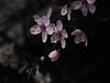 Prunus cerasifera 'Krauter's Vesuvius' Flowering Plum (CP68-73) Tags: plum prunus floweringplum ornamentalplum redleafplum krautersvesuviusornamentalplum