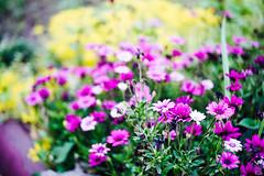 Mid summer morning (yasu19_67) Tags: morning summer sunlight flower japan 50mm bokeh atmosphere osaka pentacon digitaleffects photooftheday filmlook filmlike vsco pentaconprakticar50mmf24 vscofilm sony7ilce7