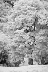 A tree in bloom (Ramesh Adkoli) Tags: landscape ir pachibale bw blackwhite d800e capturenx