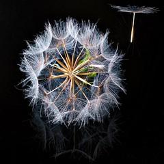 Dandelion (pkrippler) Tags: flower detail macro dandelion blume makro samen lwenzahn
