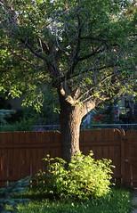 First Light in the Backyard (Waddellz) Tags: tree maple edmonton 40d alberta firstlight