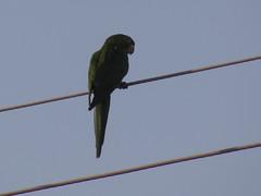 DSC05136 (familiapratta) Tags: sony dschx100v hx100v iso100 natureza pssaro pssaros aves nature bird birds novaodessa novaodessasp brasil