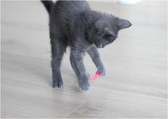 IMG_2534 (murkla_la) Tags: cat russianblue moussie gray graycat