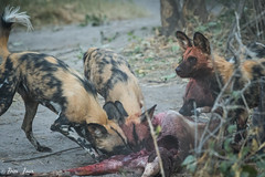 DT-151 (Photography by Brian Lauer) Tags: botswana dumatau africa safari safaris wildlife travel nikonphotography nikon lion elephant hippo fisheagle saddlebilledstork piedkingfisher lilacbreastedroller wilddog