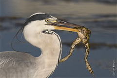 Good fortune and bad luck (Fisherman01) Tags: gries reiher heron